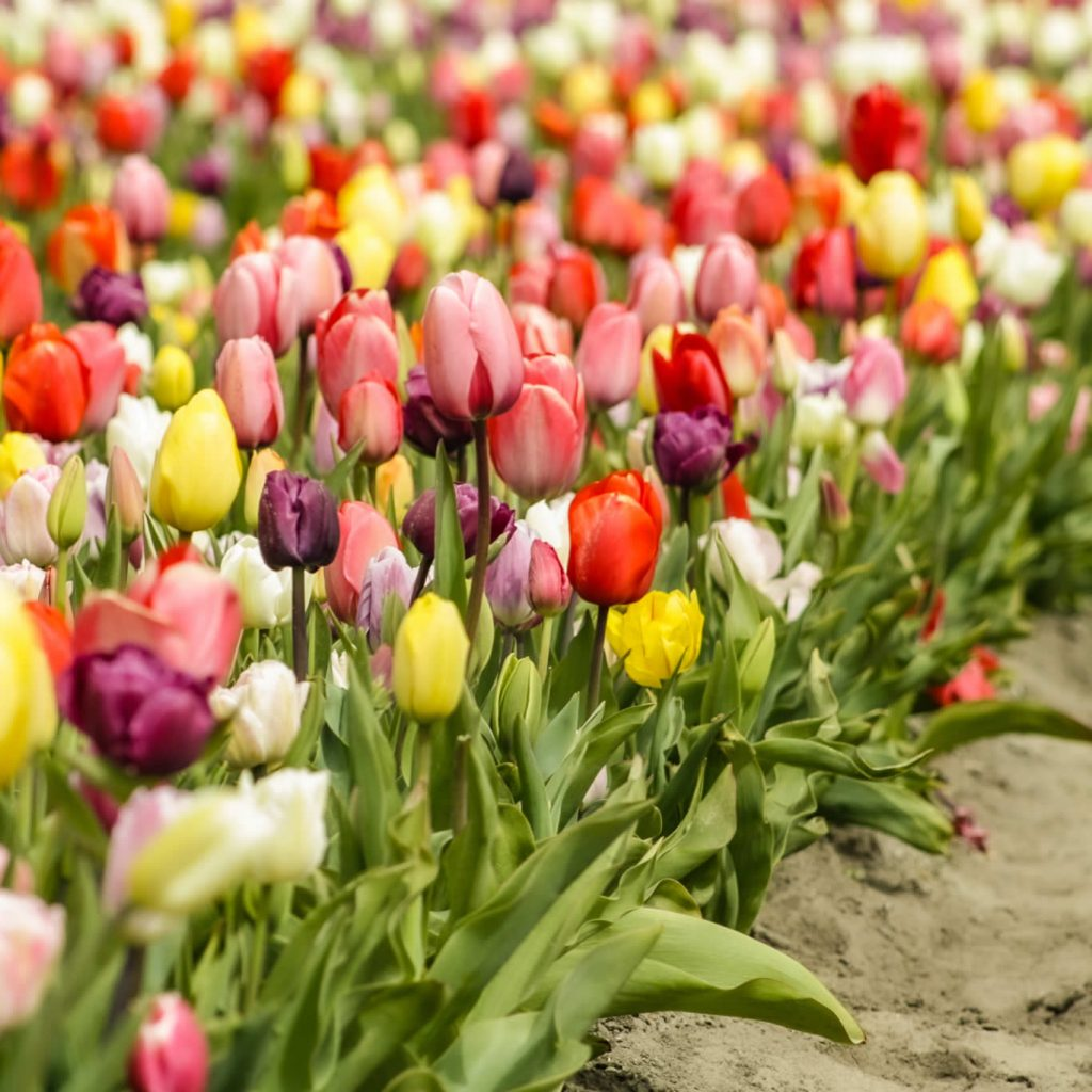 Tulip fields Netherlands | Your Dutch Guide