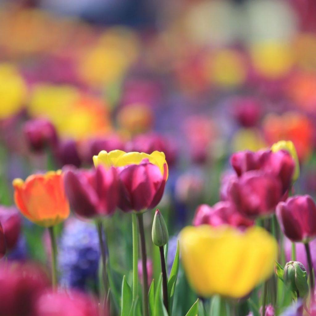Keukenhof Gardens The Netherlands | Your Dutch Guide