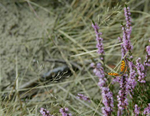 Holland heather fields: Hoorneboegse Heide, Hilversum | Your Dutch Guide