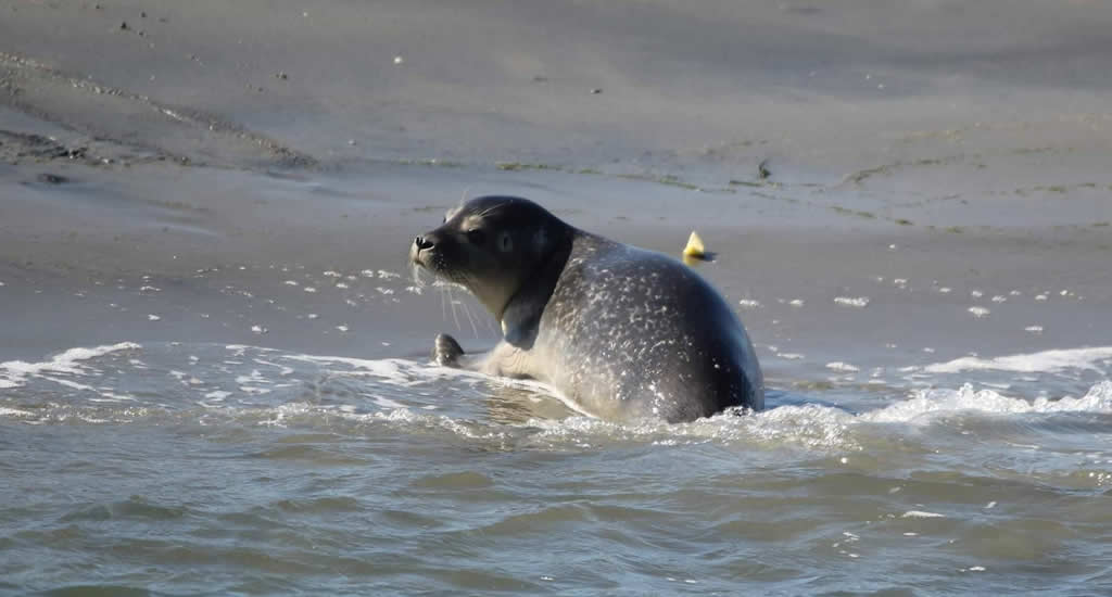 Seal spotting in The Netherlands, photo by Frisia Rondvaarten   Your Dutch Guide