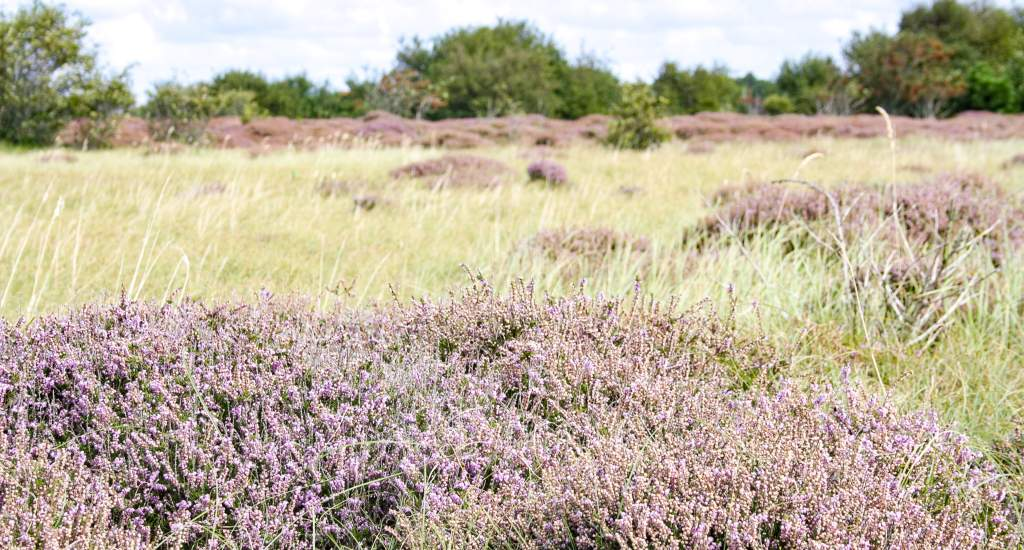 Heather fields The Netherlands: Ameland | Your Dutch Guide