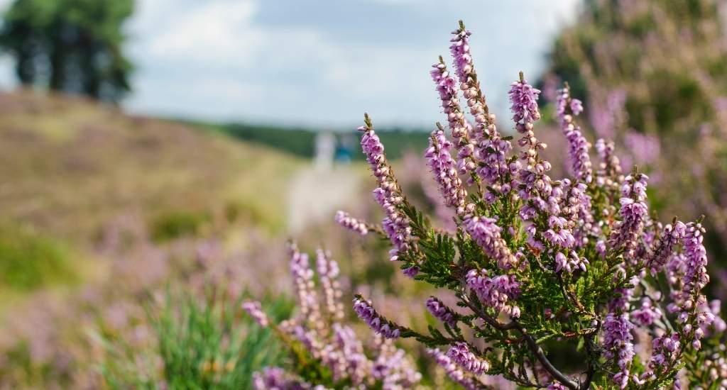 Heather fields, The Netherlands: Ginkelse heide | Your Dutch Guide