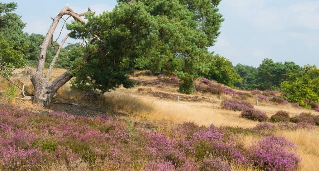 Heather fields, The Netherlands: Leusderheide | Your Dutch Guide