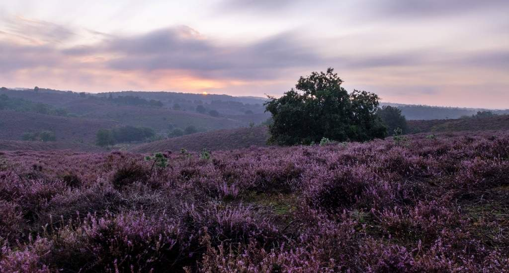 Heather fields, The Netherlands: Posbank | Your Dutch Guide