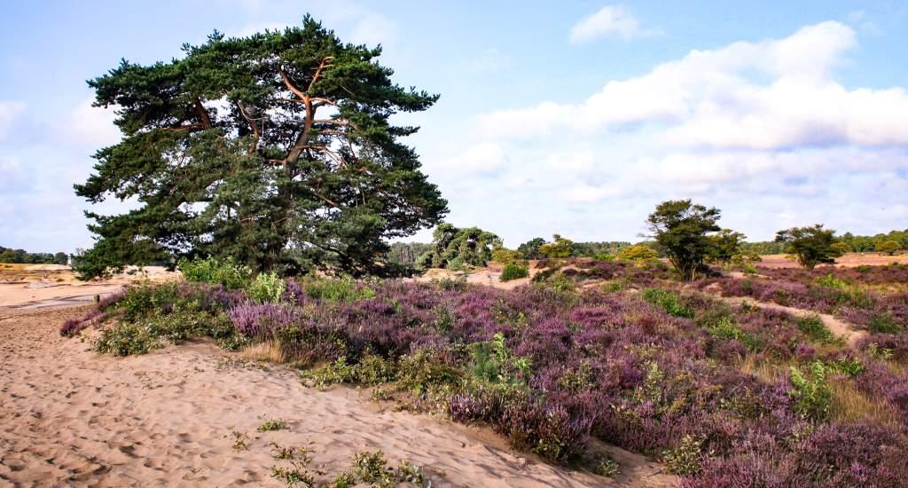 Heather fields The Netherlands: Zuiderheide | Your Dutch Guide