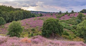 Heather fields The Netherlands, 9 top places to spot heather fields in The Netherlands | Your Dutch Guide