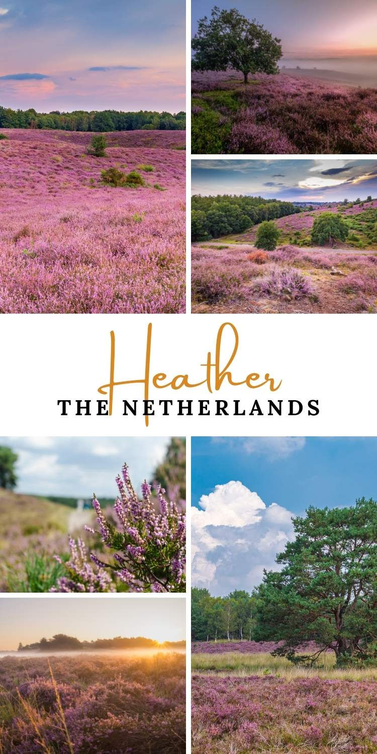 Heather fields, The Netherlands | Your Dutch Guide
